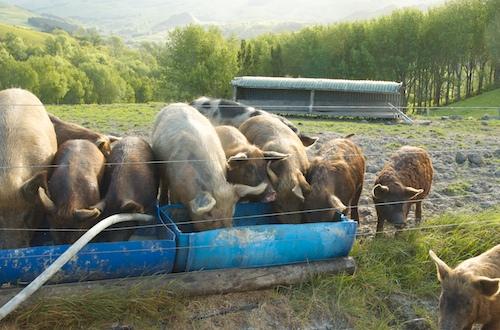 Pigs at Waimarama