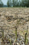Hautapu asparagus fields
