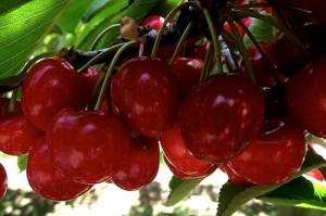 Cherries. Ruth Gordon